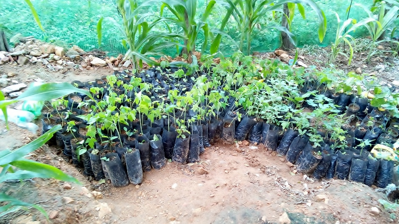 Photo of Celia's saplings by Purnima Ramakrishnan