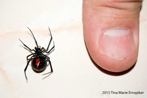 Black-Widow02